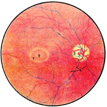 Автономная (вегетативная) нервная система