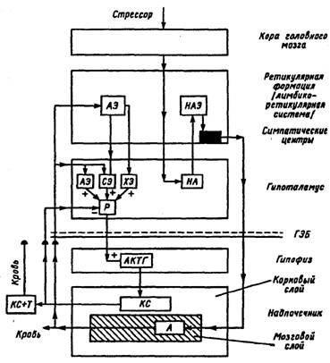 Гетерогенность модулирующей системы мозга