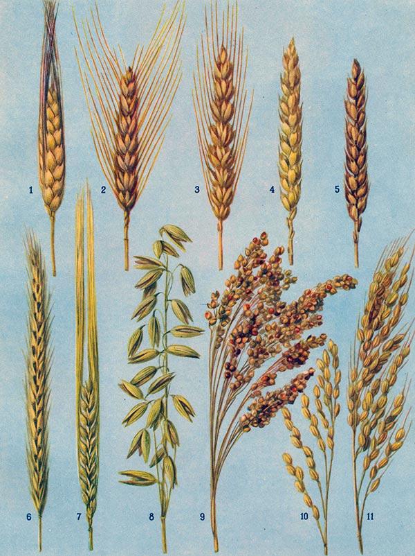 Выращивание зерновых культур. пшеница, рожь, овес, ячмень, рис и гречиха